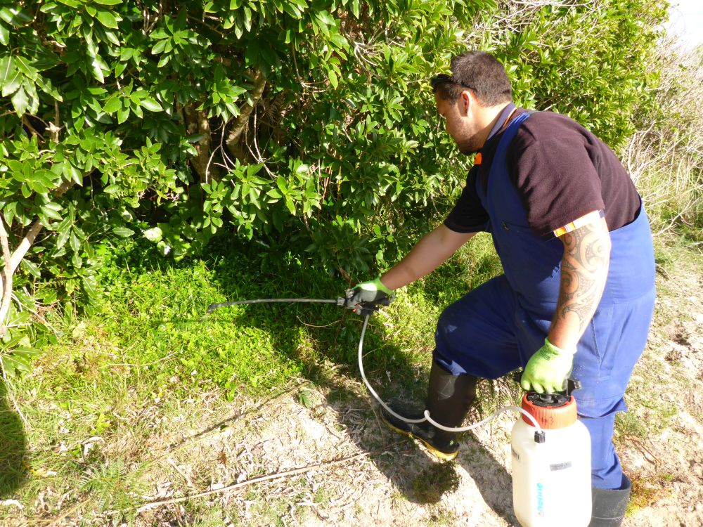 Weed Control is ongoing throughout the Park. Kaitiaki o Ngahere contractor Rawhiti Waiti spraying Tradescantia at Awaroa