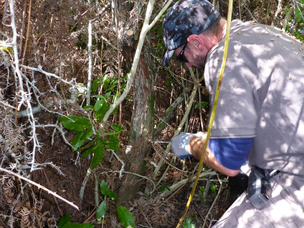 Nelmac contractor Ben Pavitt cutting a hawthorn in thick scrub at Awaroa.