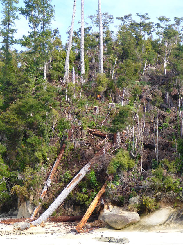 final stages of wilding pine removal in Abel Tasman National Park
