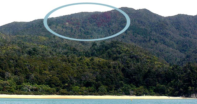 Wilding pine control in Abel Tasman National Park